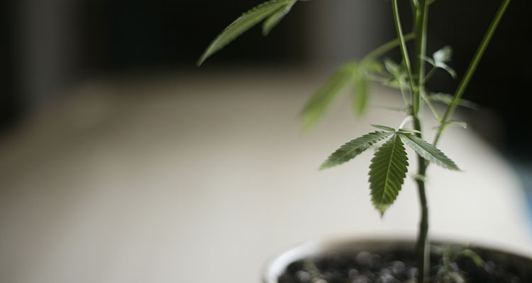 A homegrown cannabis plant in Oregon.
