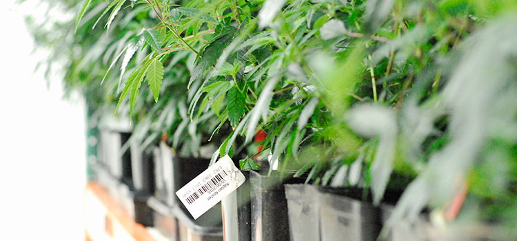 Clones lined up inside of a Washington cultivation facility.