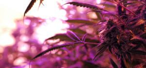 The purple glow of LED lights inside of a licensed Washington cannabis cultivation site.