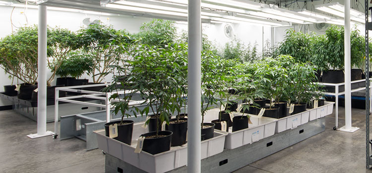 An indoor cannabis grow facility in Washington state.