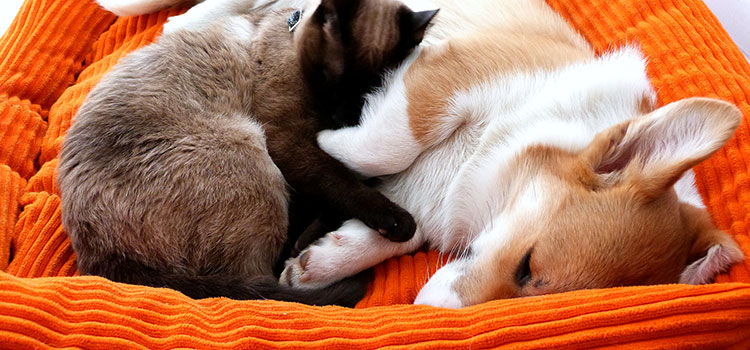 Furry companions (cat and dog) sleeping together in the dog's bed.