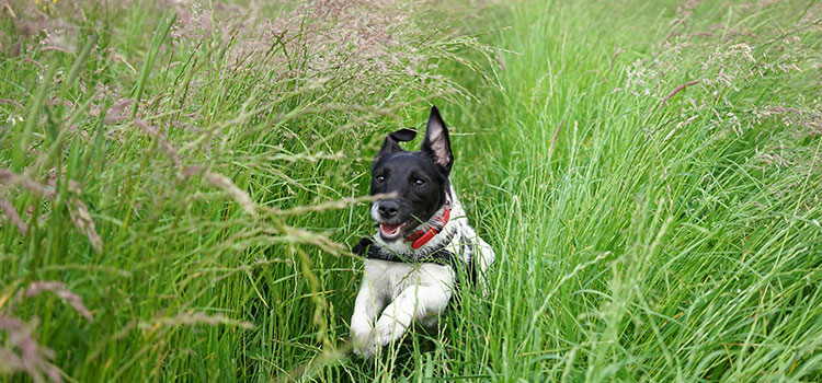 A puppy runs through tall, green grass.