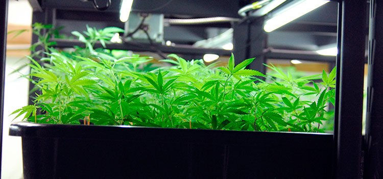 A selection of clones held by a commercial cannabis grower in Washington state.