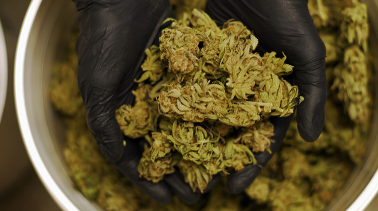 A cannabis worker in Washington cups a handful of trimmed marijuana buds.