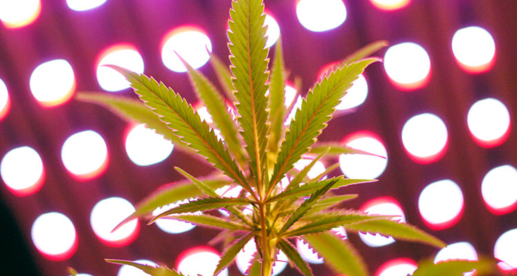 The underside of a glowing marijuana leaf located in a Washington state grow facility.