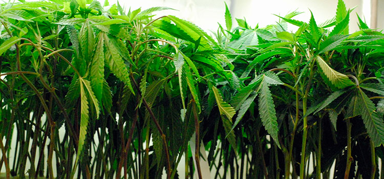 Line of cannabis clones in a licensed Washington cultivation facility.