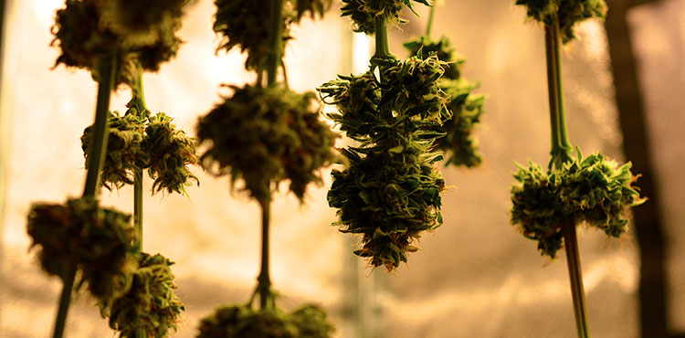 Cannabis branches on the drying line to cure.