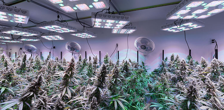The LED-powered grow room of a licensed adult use cannabis cultivator in Washington state.