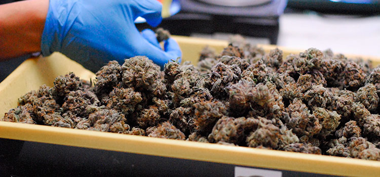 A cannabis worker in Washington state inspects recently-trimmed nugs.