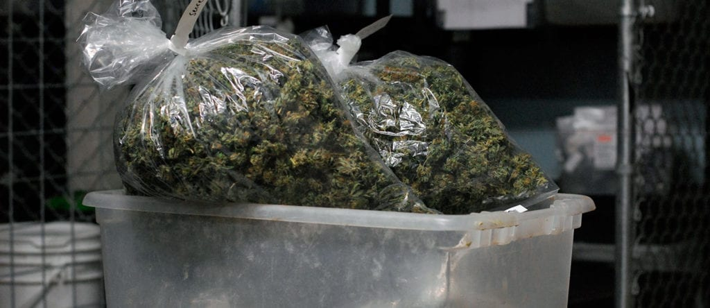 Many pounds of cured and trimmed cannabis bagged up inside of a large plastic bin.