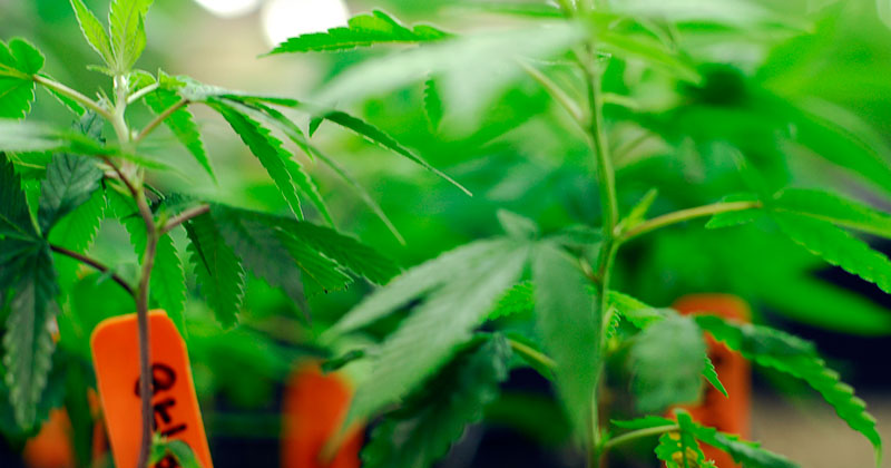 10 Steps for Starting a Cannabis Extraction Company