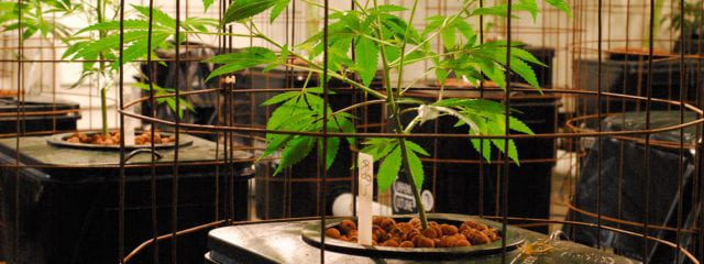 Commercial plants inside of grow cages at a licensed grow operation in Washington state.