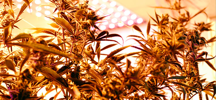View looking up from the floor inside of a licensed cannabis grow operation in WA.
