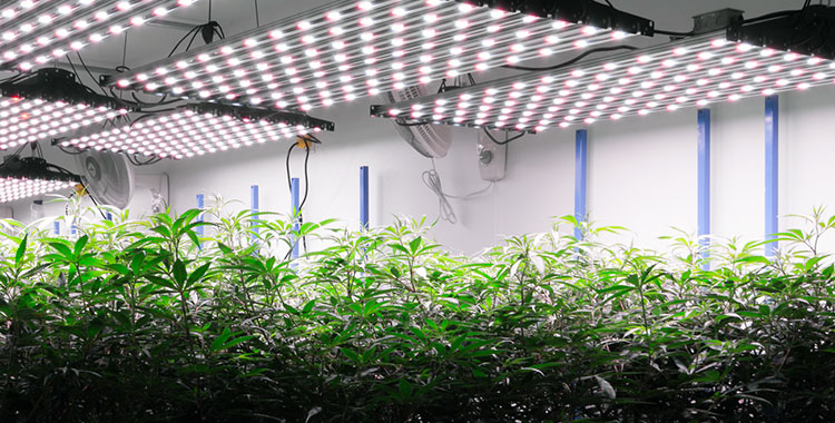 An indoor cannabis grow, operated by a licensed Washington cannabis cultivator.