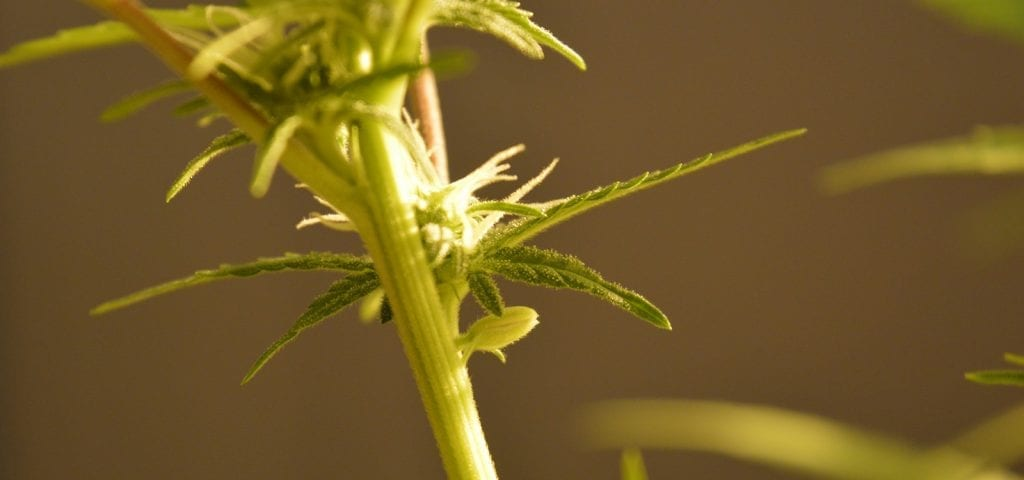 A young cannabis plant in part of someone's personal homegrow operation.