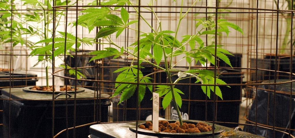 Young cannabis plants being raised inside of grow cages in a licensed Washington grow op.