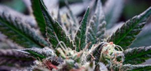 Close-up view of a medical cannabis plant's cola and sugar leaves.