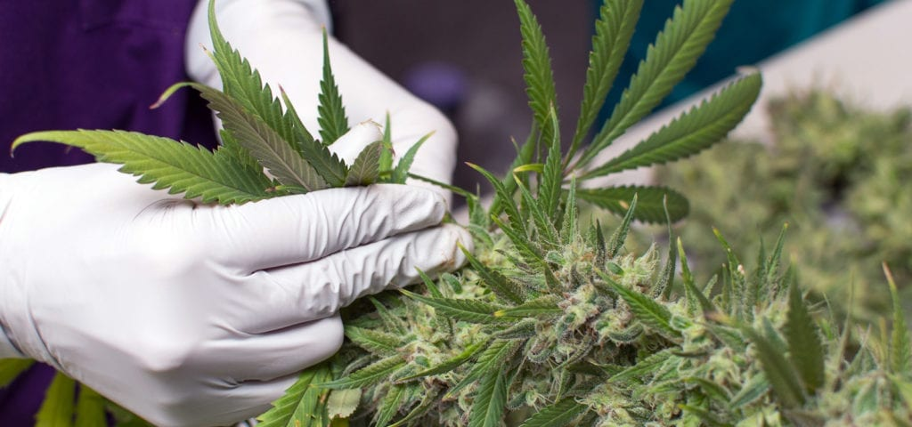 A cannabis worker removes leaves and stems from a cannabis plant by hand.