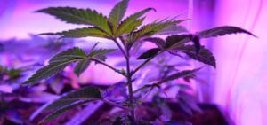A young cannabis plant soaking up the output of an LED grow light in a legal California medical grow operation.