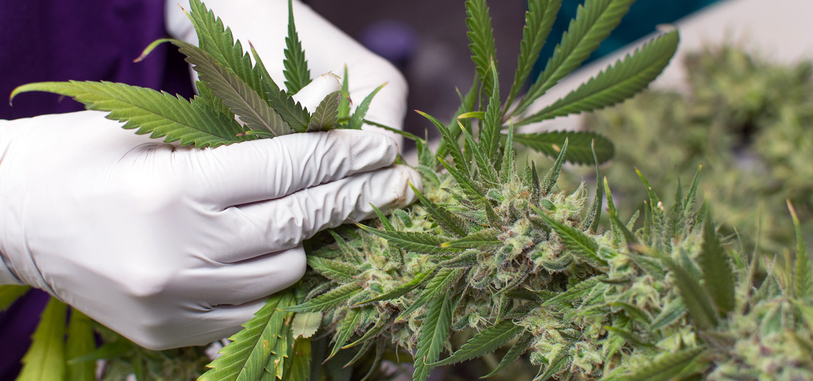 A cannabis worker plucks a leaf from the stem of a fully grow commercial-grade marijuana plant.