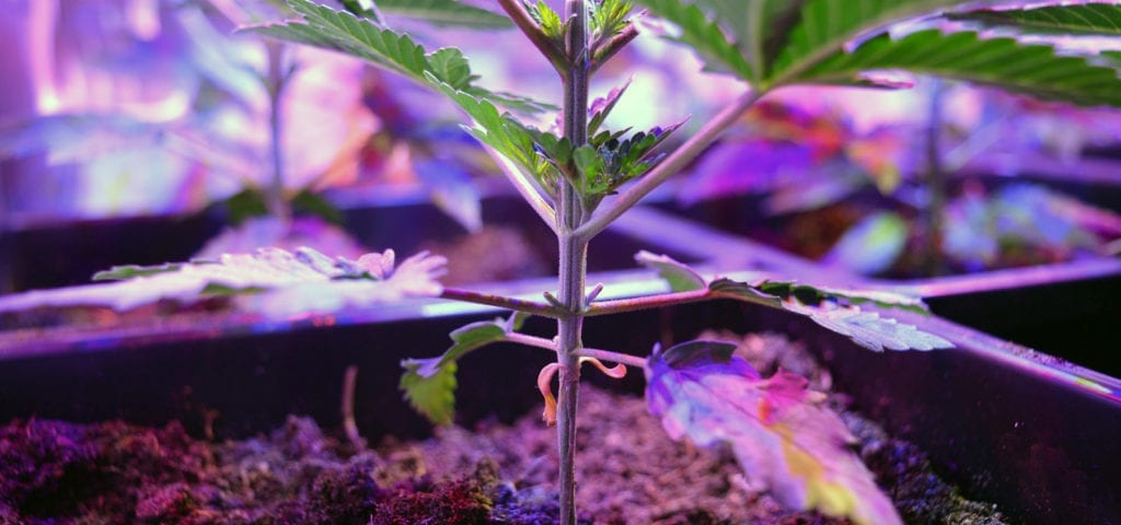 A young cannabis plant showing signs of growth under an LED grow light.