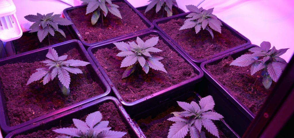 A collection of young medical cannabis plants under a ceiling of purple LED lights.