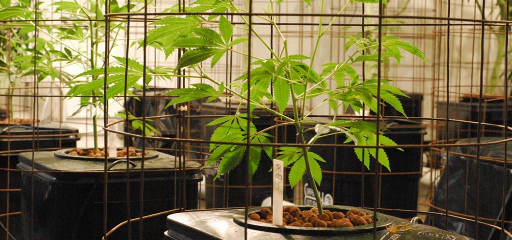 A commercial cannabis grow in Washington state.
