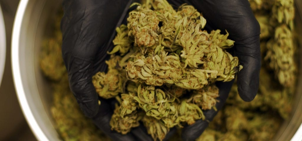A cannabis worker holds up a handful of commercial-grade, trimmed cannabis nugs.