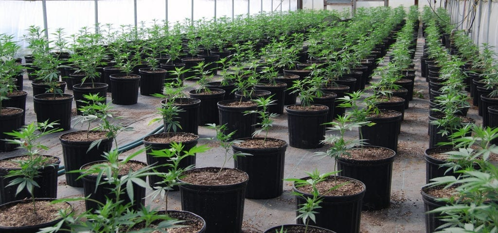 Rows of CBD-rich cannabis plants inside of a greenhouse.