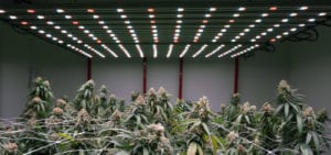 A crop of mature, healthy medical cannabis plants inside of a licensed Washington cultivation facility.