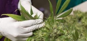 A cannabis worker plucks large leaves from the stalk of a freshly harvested plant.