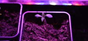 An amateur cannabis grower's seedling, bathed in the purple light of an LED-based grow closet.
