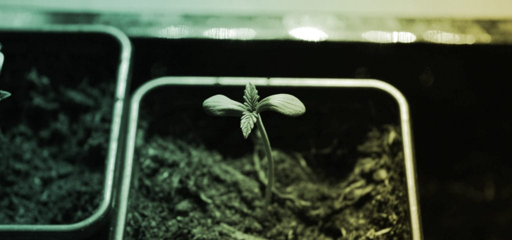 A cannabis seedling being grown in a personal, homegrow setting.