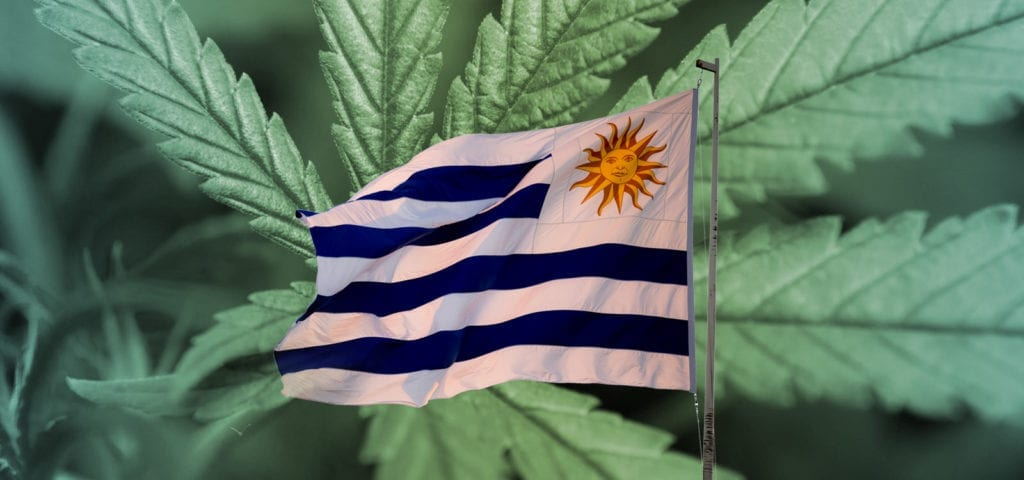The flag of Uruguay spliced over an image of commercial-grade cannabis inside of a controlled, licensed grow site.