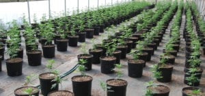 Rows of young cannabis plants growing in a greenhouse environment.