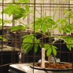 Medical cannabis plants housed in grow cages inside of an indoor grow.