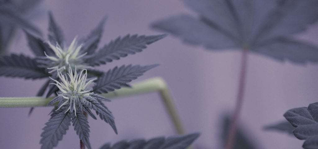 Young cannabis buds in an indoor grow environment.