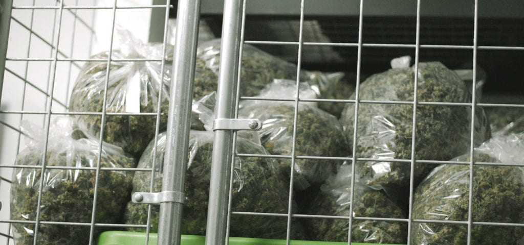 Clear plastic garbage bags that have been stuffed with commercial-grade cannabis nugs.