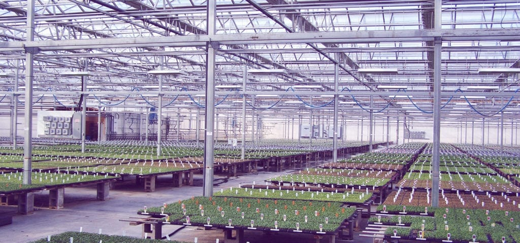 Photo taken inside of a large, commercial greenhouse operation.