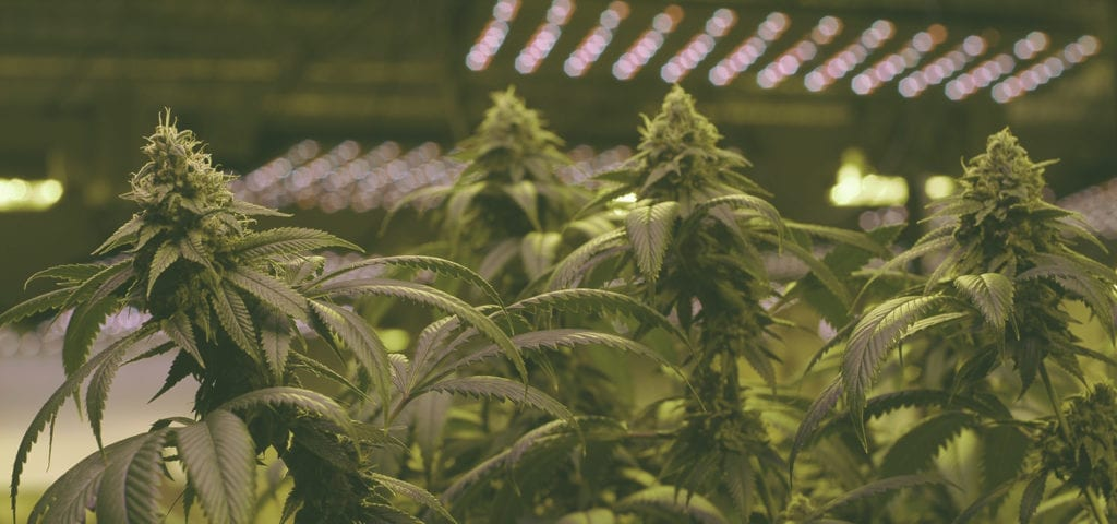 A large indoor cannabis grow operation based out of Washington state.
