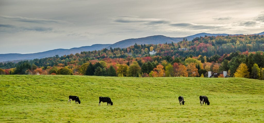 Several cows graze in a Vermont pasture on an Autumn afternoon.