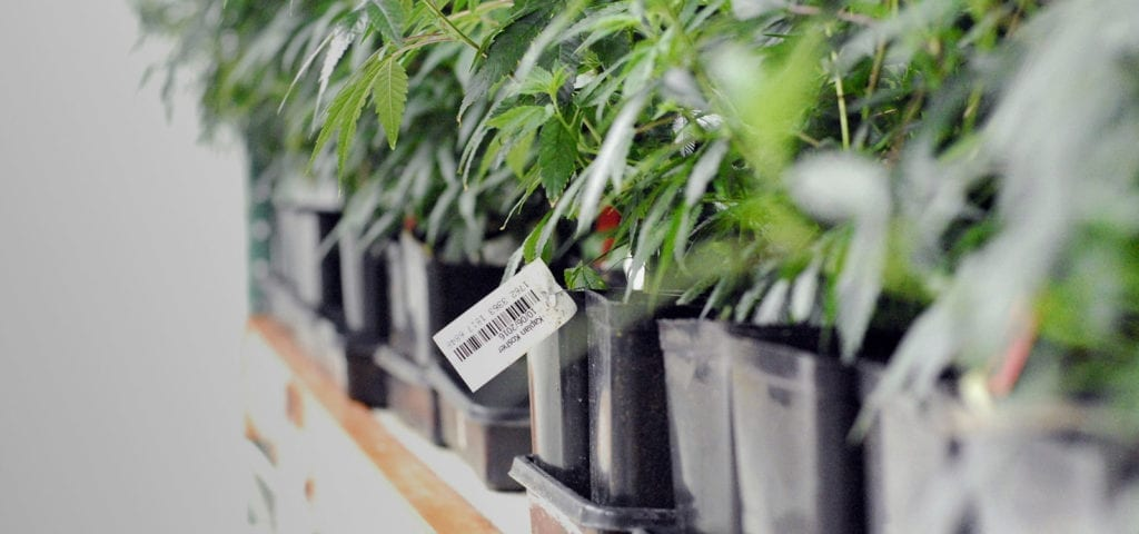 Line of cannabis clones inside of a licensed production facility in Washington.