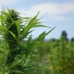 A tall, CBD-rich cannabis plant stands up in an outdoor field.