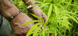 A man wearing handcuffs stands next to a cannabis plant.